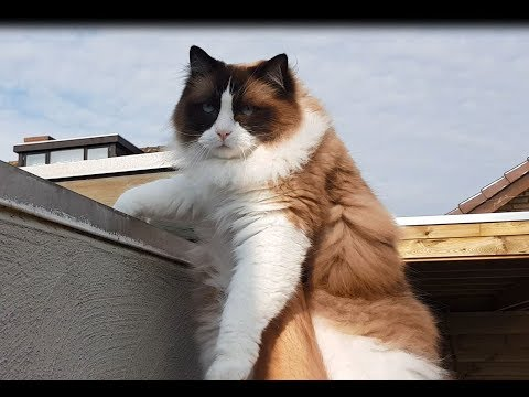 Is this the end of Timo's lovestory??   (Timo the Ragdoll Cat)