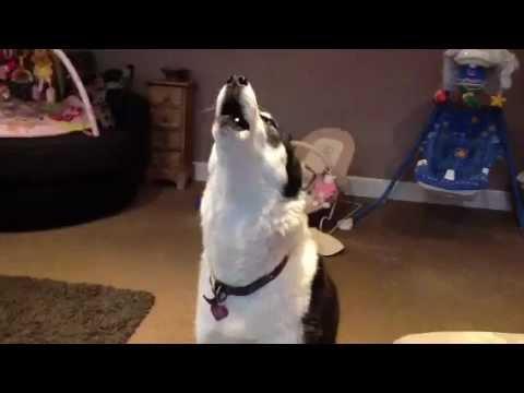 Siberian Husky Hilarious singing dogs, huskies howling, dog sings to harmonica