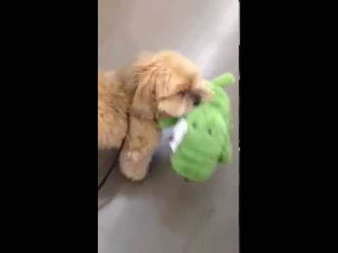Dog picks out his own toy at dog store