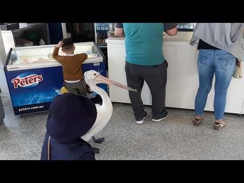 Patient Pelican Waits In Line At Fish And Chips Restaurant In Australia