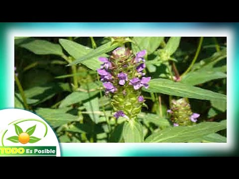 Plantas Medicinales - La Suelda Consuelda para que sirve