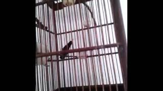 ANEKA SUARA BURUNG: Kolibri Ninja/KONIN Gacor volume Semelit Untuk Masteran
