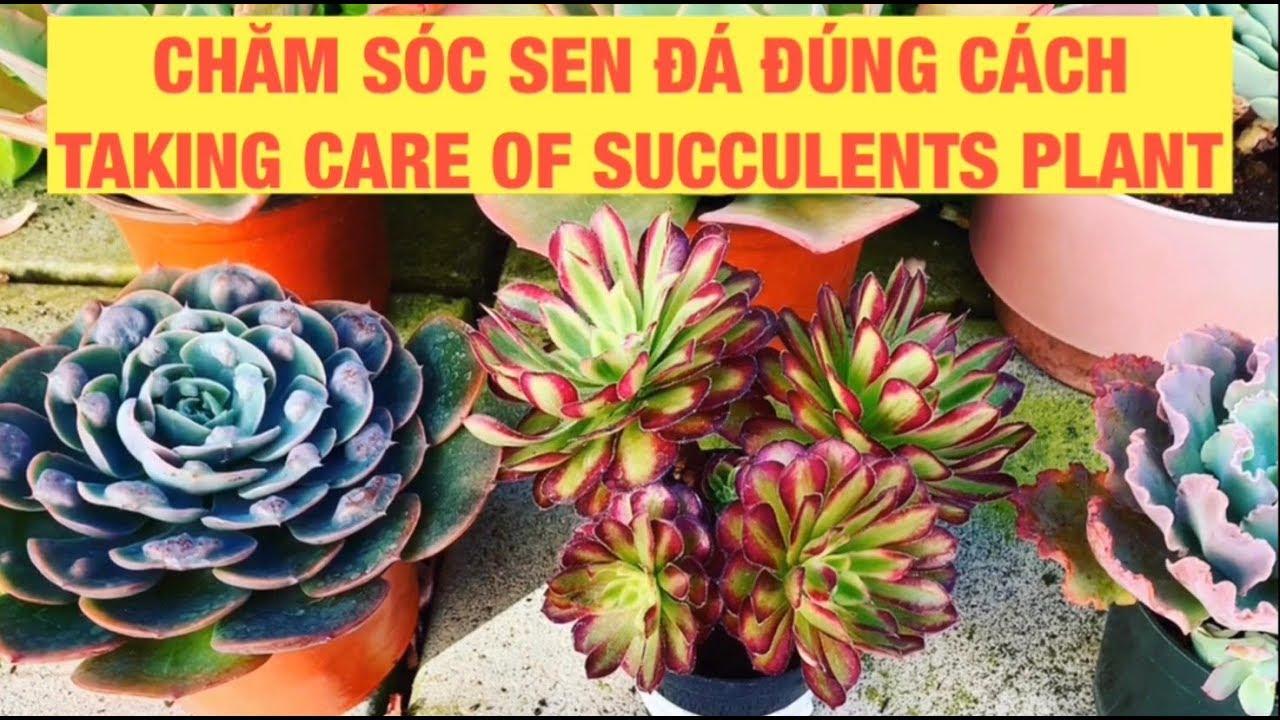 Chăm Sóc Sen Đá Đúng Cách | Tách bỏ lá khô | Sen Đá | Take Care Of Succulents Plant