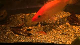 Beauty Fisch Red Bay Snook Cichlid episode 3