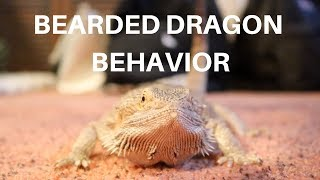 BEARDED DRAGON BEHAVIOR 101