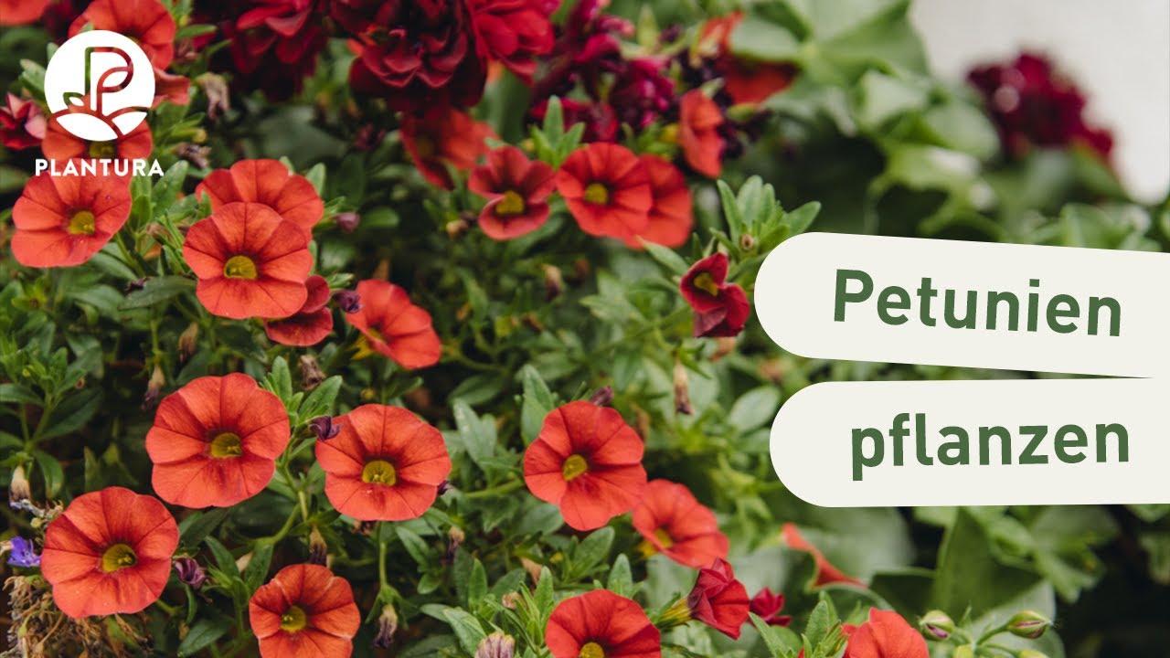 Ganz und zu Extrem Petunien anbauen: Hängende und stehende Petunien im Garten - Plantura &YP_23