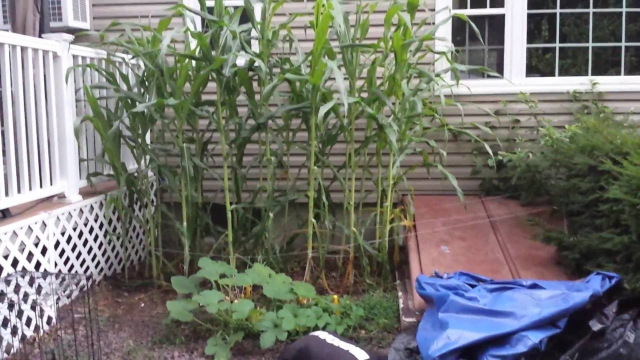 Growing Corn In Small Space, Getting Really Tall!