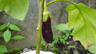 Harvesting eggplants the riġht way | Eggplant facts | Eggplant tips