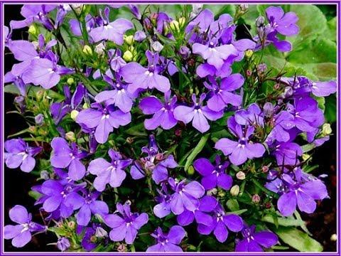 La Lobelia, una Planta Milagrosa con Múltiples Propiedades