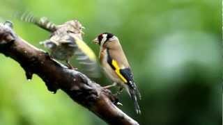 UK GARDEN BIRDS -- Goldfinch feeding young