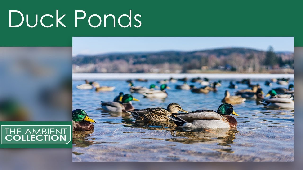 Duck ponds dvd relaxing duck pond with water bird sounds for Duck pond water