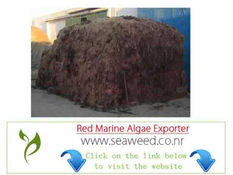 Brazil red seaweed algae importer Exporter wholesale suppliers