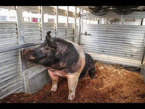 Raising the Indiana's State Fair's largest hog