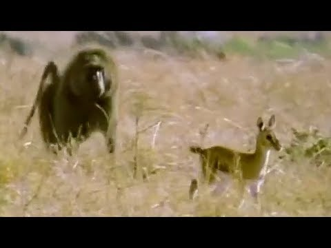 Baboon Vs Baby Gazelle | Be An Animal | BBC Earth