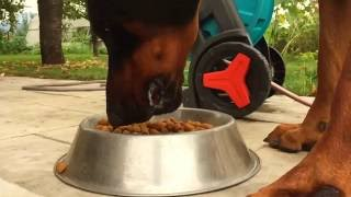 Doberman Pinscher Eating Dry Food In Slow Motion