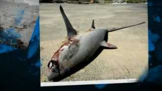 Whales, Dolphins and Seals to be Massacred In California Nov. 1 2012