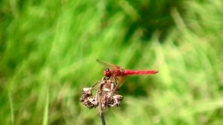 Red Dragonfly Real Life Pokemon Yanma