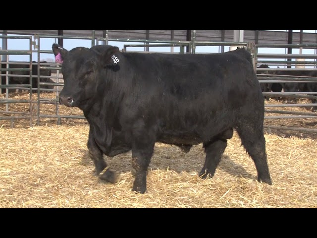 Schiefelbein Angus Farms Lot 46