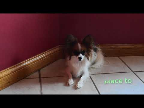 Percy the Papillon Dog: Questions for Percy