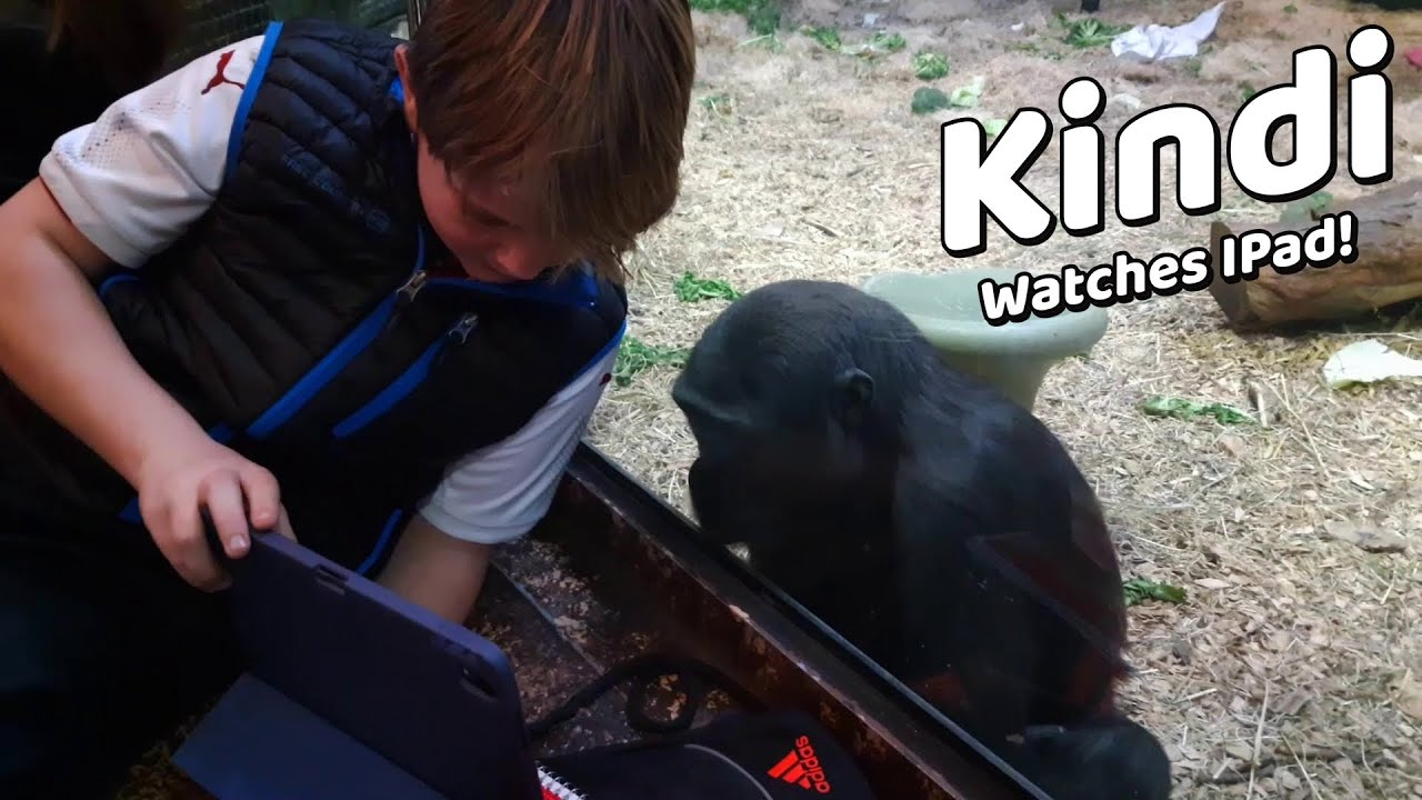 MUST SEE!!!! BABY GORILLA KINDI WATCHES IPAD!! LOVES HANGING OUT WITH PEOPLE!! Louisville Zoo