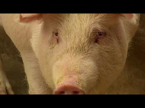Chinese researchers warn of new virus in pigs