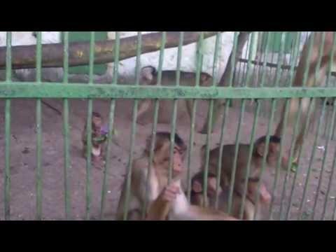 ZOO Bitola - ЗОО Битола, опасни мајмуни