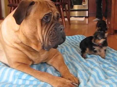 Livin' In The Dog House Bullmastiff Puppy's