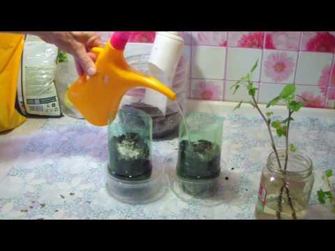Как размножить смородину черенками весной