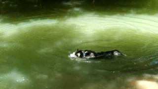Texas Siberian Husky Swimming