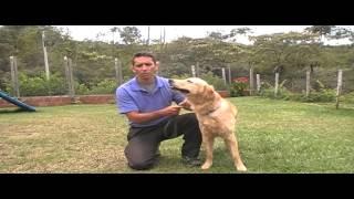 Adiestramiento De Perros Golden Retriever
