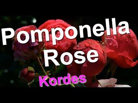 Pomponella Rose Kordes