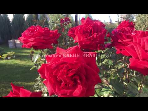 Розы ЦВЕТУЩИЕ ВСЁ ЛЕТО. ЛУЧШИЕ СОРТА РОЗ: Супер Гранд Аморе
