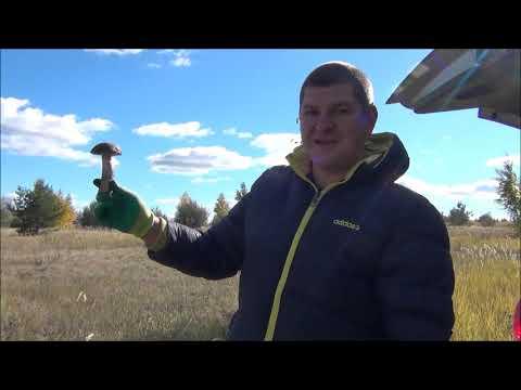 купить грибы вешенка в саратове