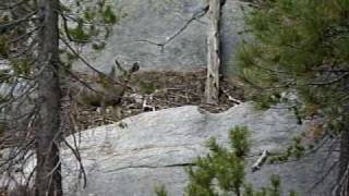 Mt San Jacinto Wilderness Mule Deer