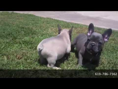 AKC Rare Blue French Bulldog Puppy For Sale San Diego, CA! Champion Bloodlines! Cute & Tiny