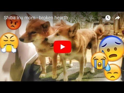Shiba Inu mom - broken hearth