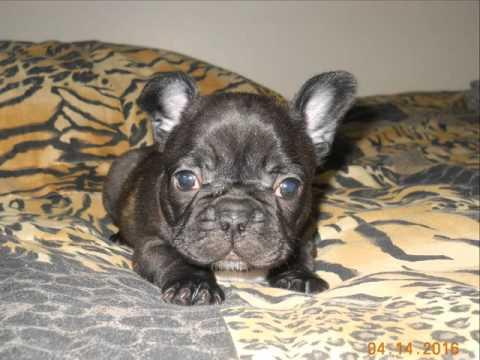 Wrigley - The French Bulldog