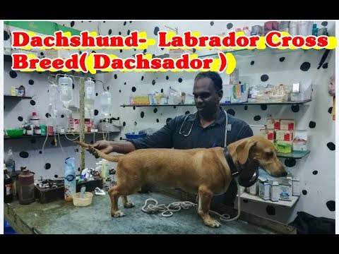 Dachshund-  Labrador Cross Breed  | Dachsador