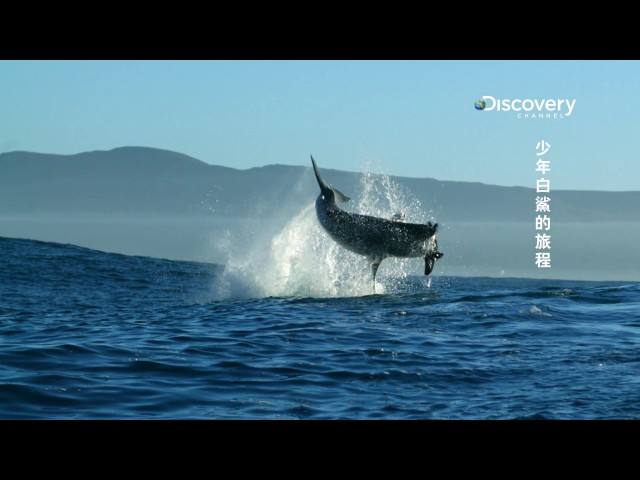 Discovery《週六鯊魚夜 - 少年白鯊的旅程》