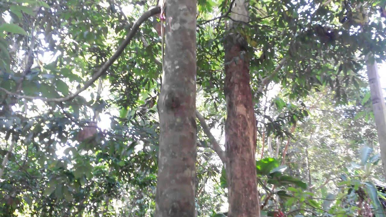 Images of ebony tree