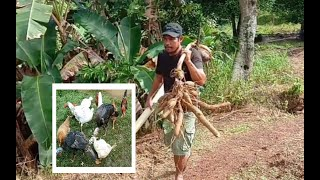 HOW I FEED MY FREE RANGE CHICKEN/ABRA RURAL LIFE IN THE PHILIPPINES