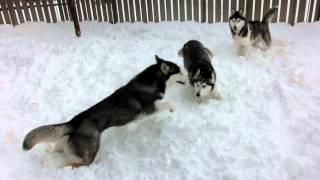 我が家のハスキーズ この冬まともな積雪がやっときました はしゃがずに...