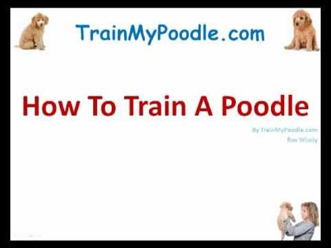 how to train a poodle