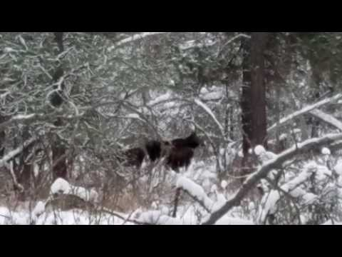 Mama Moose and Twins at Turnbull Wildlife Refuge