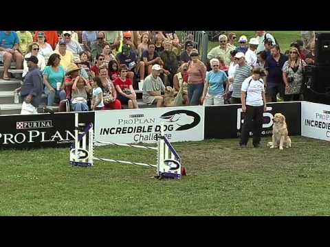 Large Dog Agility - 2013 Purina® Incredible Dog Challenge® St. Petersburg