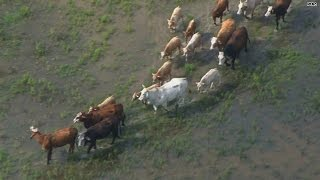 The ultimate cattle drive just went down in Texas!
