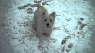 Lucy The Famous New York Westie Playing In The Snow