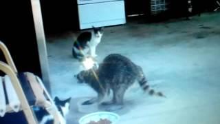Енот ворует еду у котов!