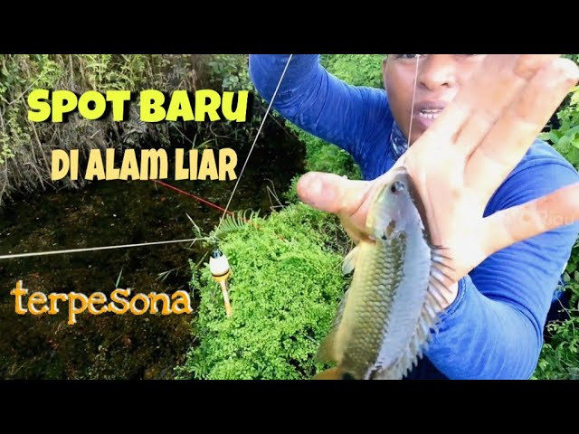 mancing ikan betok/papuyuh besar pedalaman riau||mancing liar, mancing rawa...