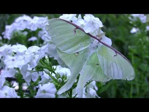 A Luna Moth Takes Flight